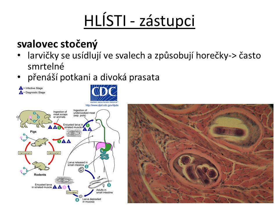 HLÍSTI - zástupci svalovec stočený larvičky se usídlují ve svalech a způsobují horečky-> často smrtelné přenáší potkani a divoká prasata