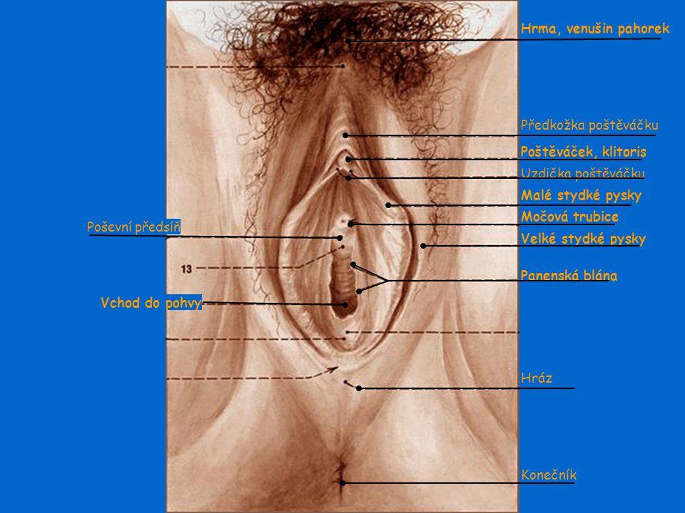 Vnější pohlavní orgány Hrma (venušin pahorek) – ochlupená část stydké oblasti Velké stydké pysky – překrývají malé stydké pysky, jsou ochlupené, slouž