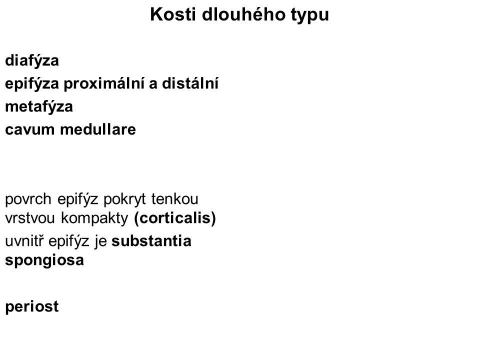 Kosti dlouhého typu diafýza epifýza proximální a distální metafýza cavum medullare povrch epifýz pokryt tenkou vrstvou kompakty (corticalis) uvnitř ep