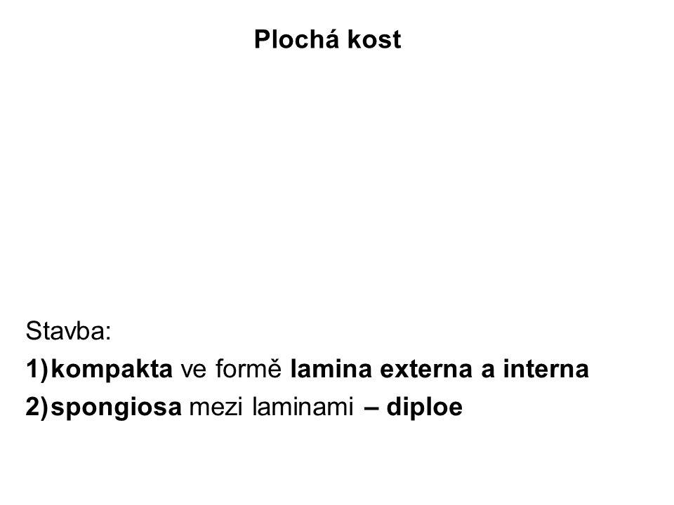 Plochá kost Stavba: 1)kompakta ve formě lamina externa a interna 2)spongiosa mezi laminami – diploe