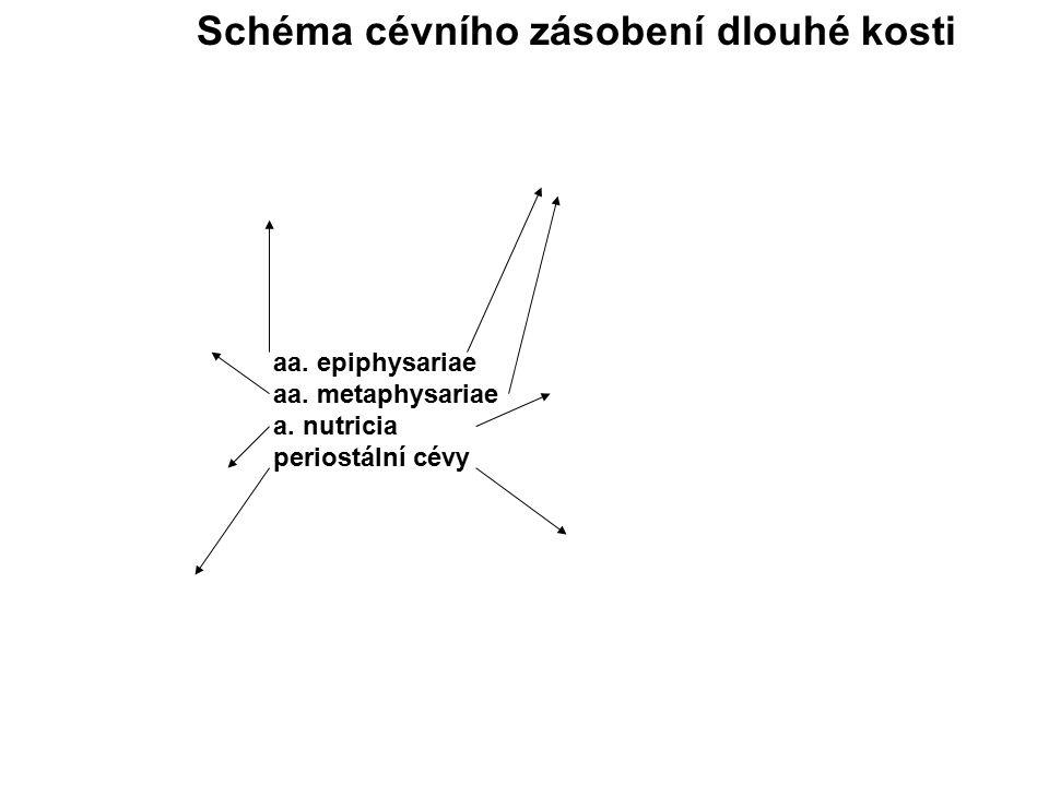 aa. epiphysariae aa. metaphysariae a. nutricia periostální cévy Schéma cévního zásobení dlouhé kosti