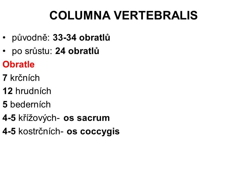 COLUMNA VERTEBRALIS původně: 33-34 obratlů po srůstu: 24 obratlů Obratle 7 krčních 12 hrudních 5 bederních 4-5 křížových- os sacrum 4-5 kostrčních- os