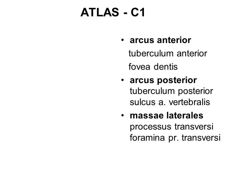 ATLAS - C1 arcus anterior tuberculum anterior fovea dentis arcus posterior tuberculum posterior sulcus a. vertebralis massae laterales processus trans