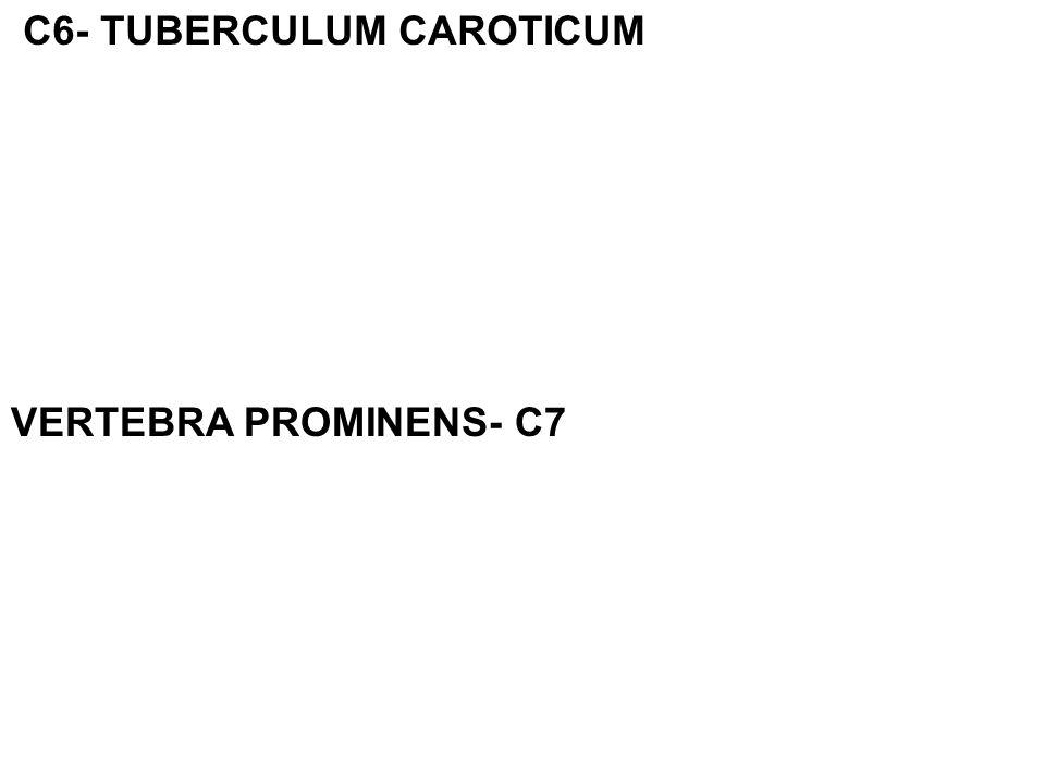 C6- TUBERCULUM CAROTICUM VERTEBRA PROMINENS- C7