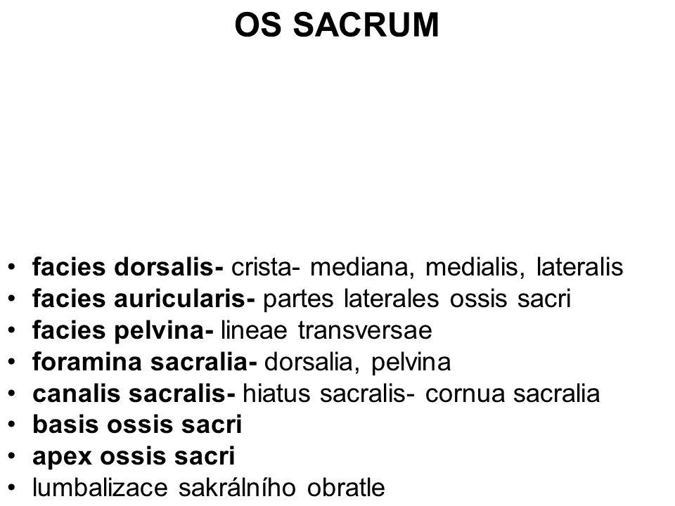 OS SACRUM facies dorsalis- crista- mediana, medialis, lateralis facies auricularis- partes laterales ossis sacri facies pelvina- lineae transversae fo
