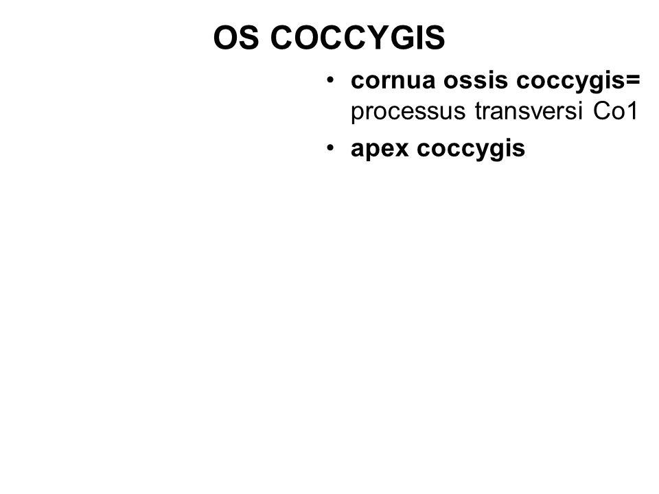 OS COCCYGIS cornua ossis coccygis= processus transversi Co1 apex coccygis