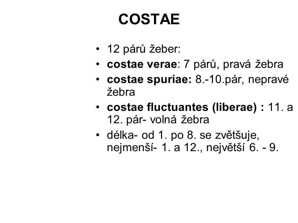 COSTAE 12 párů žeber: costae verae: 7 párů, pravá žebra costae spuriae: 8.-10.pár, nepravé žebra costae fluctuantes (liberae) : 11. a 12. pár- volná ž
