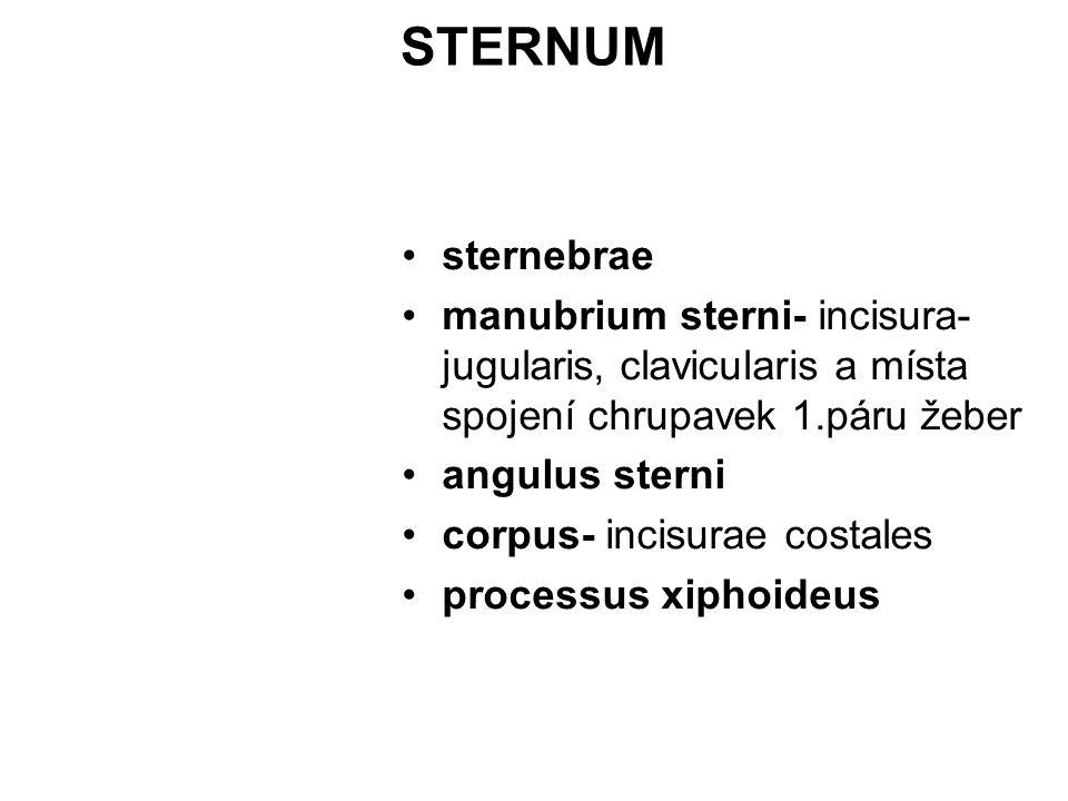STERNUM sternebrae manubrium sterni- incisura- jugularis, clavicularis a místa spojení chrupavek 1.páru žeber angulus sterni corpus- incisurae costale