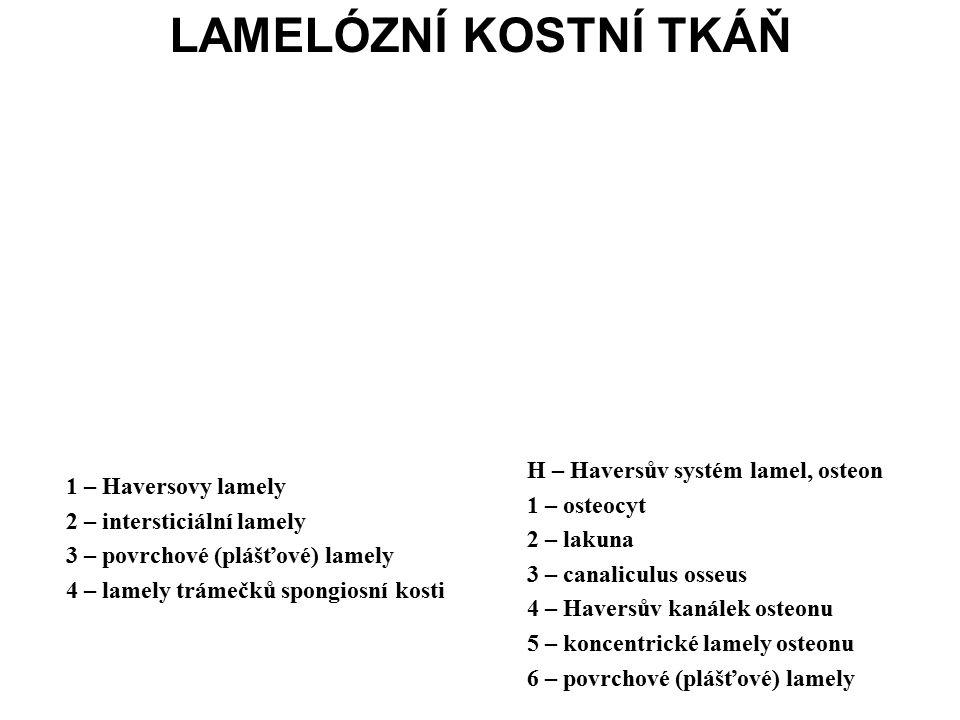 1 – Haversovy lamely 2 – intersticiální lamely 3 – povrchové (plášťové) lamely 4 – lamely trámečků spongiosní kosti H – Haversův systém lamel, osteon