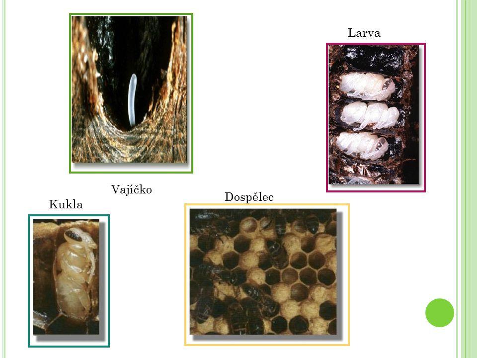 Kukla Larva Vajíčko Dospělec