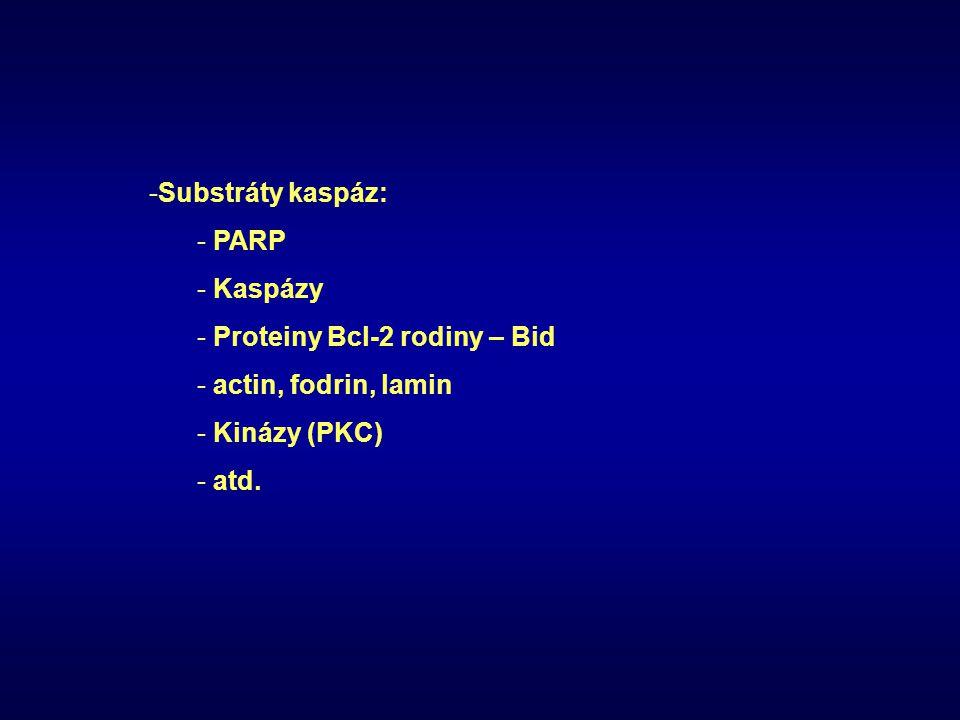 -Substráty kaspáz: - PARP - Kaspázy - Proteiny Bcl-2 rodiny – Bid - actin, fodrin, lamin - Kinázy (PKC) - atd.