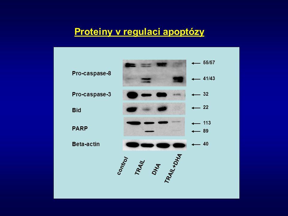 Pro-caspase-8 Pro-caspase-3 Bid PARP Beta-actin 55/57 41/43 32 22 113 89 40 control TRAIL DHA TRAIL+DHA Proteiny v regulaci apoptózy