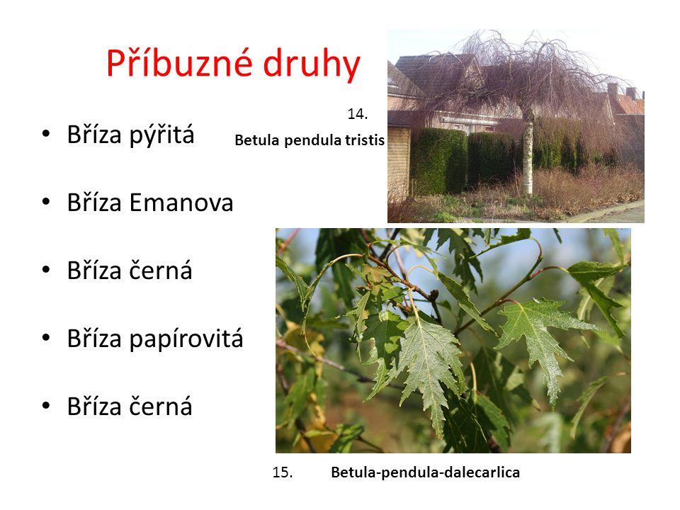 Příbuzné druhy Bříza pýřitá Bříza Emanova Bříza černá Bříza papírovitá Bříza černá Betula-pendula-dalecarlica Betula pendula tristis 14.