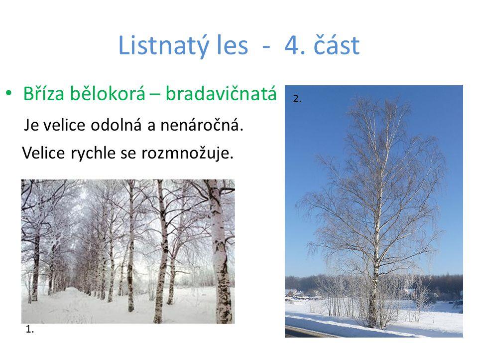 Listnatý les - 4. část Bříza bělokorá – bradavičnatá Je velice odolná a nenáročná.