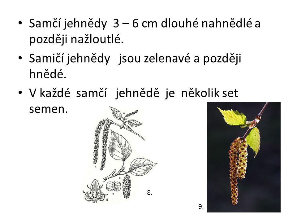 Samčí jehnědy 3 – 6 cm dlouhé nahnědlé a později nažloutlé.