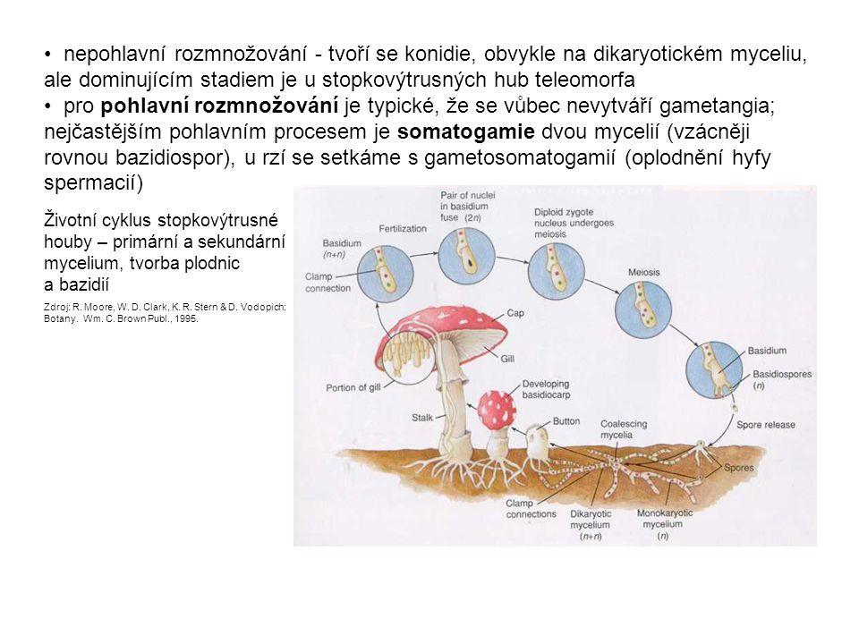 bazidie je koncovou buňkou dikaryotické hyfy, oddělenou příčnou přehrádkou karyogamie a meioza mohou bezprostředně navazovat v téže buňce, nebo může být odlišena probazidie (v ní dochází ke karyogamii) a metabazidie (místo, kde probíhá meioze) dělení bazidií podle jejich stavby: nepřehrádkovaná holobazidie × přehrádkami rozdělená (podélně nebo příčně) fragmobazidie dělení podle postavení vřeténka při meiozi: chiastická (vřeténko v příčné poloze, bazidie bývá tlustá ) × stichická (vřeténko v podélné poloze, bazidie obvykle štíhlá, protáhlá) Vlevo: Tvorba spor na stichické holobazidii lišky obecné Zdroj: E.