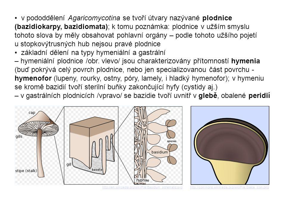 typy hymeniálních plodnic: – holothecium - rozlitá, kyjovitá, keříčkovitá, hymenium pokrývá celý povrch plodnice – pilothecium - plodnice jednoletá, s jednorázovým vývojem, diferencovaná na klobouk a třeň, hymenofor pokrývá spodní část klobouku; u plodnic tohoto typu se vytváří plachetky: velum universale, kryjící celou plodnici, z nějž po roztrhání zbývá pochva na bázi třeně nebo strupy na vrcholu klobouku, a velum partiale, kryjící mladý hymenofor, jehož pozůstatkem je pak prsten nebo pavučinka na třeni anebo cáry na okraji klobouku – krustothecium - plodnice s postupným vývojem (přirůstající), jedno- nebo víceletá, může a nemusí být členěna na klobouk a třeň, hymenofor pokrývá spodní část klobouku (nebo nerozlišené plodnice) L.