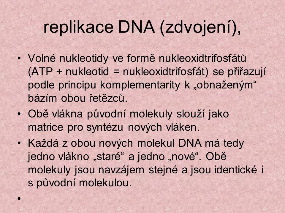 """replikace DNA (zdvojení), Volné nukleotidy ve formě nukleoxidtrifosfátů (ATP + nukleotid = nukleoxidtrifosfát) se přiřazují podle principu komplementarity k """"obnaženým bázím obou řetězců."""
