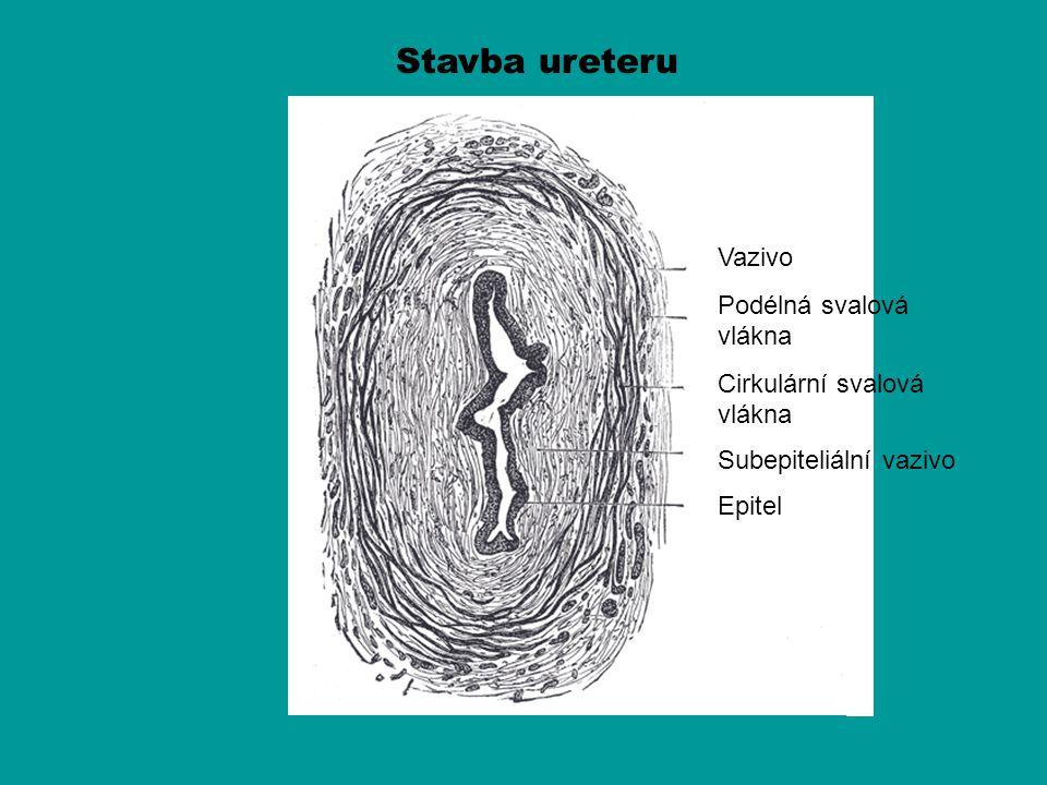 Stavba ureteru Vazivo Podélná svalová vlákna Cirkulární svalová vlákna Subepiteliální vazivo Epitel