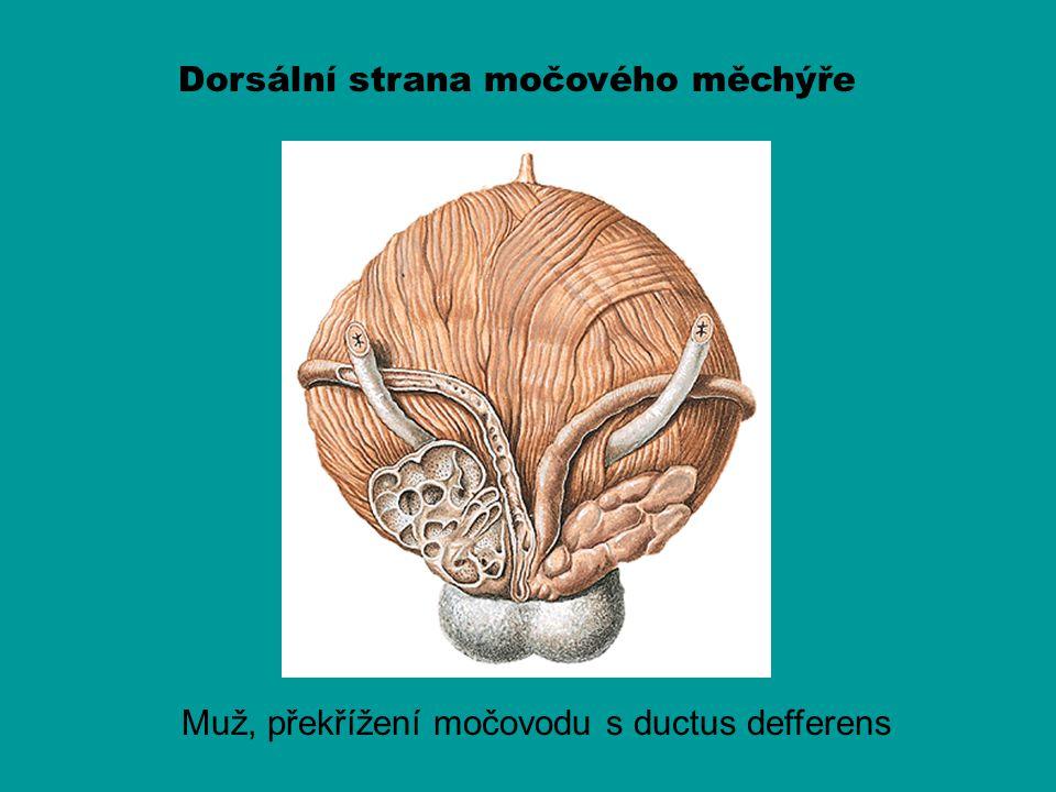 Dorsální strana močového měchýře Muž, překřížení močovodu s ductus defferens