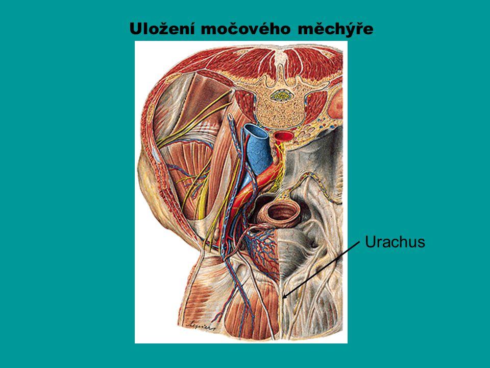 Uložení močového měchýře Urachus