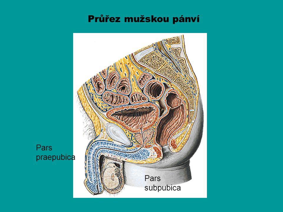 Průřez mužskou pánví Pars praepubica Pars subpubica