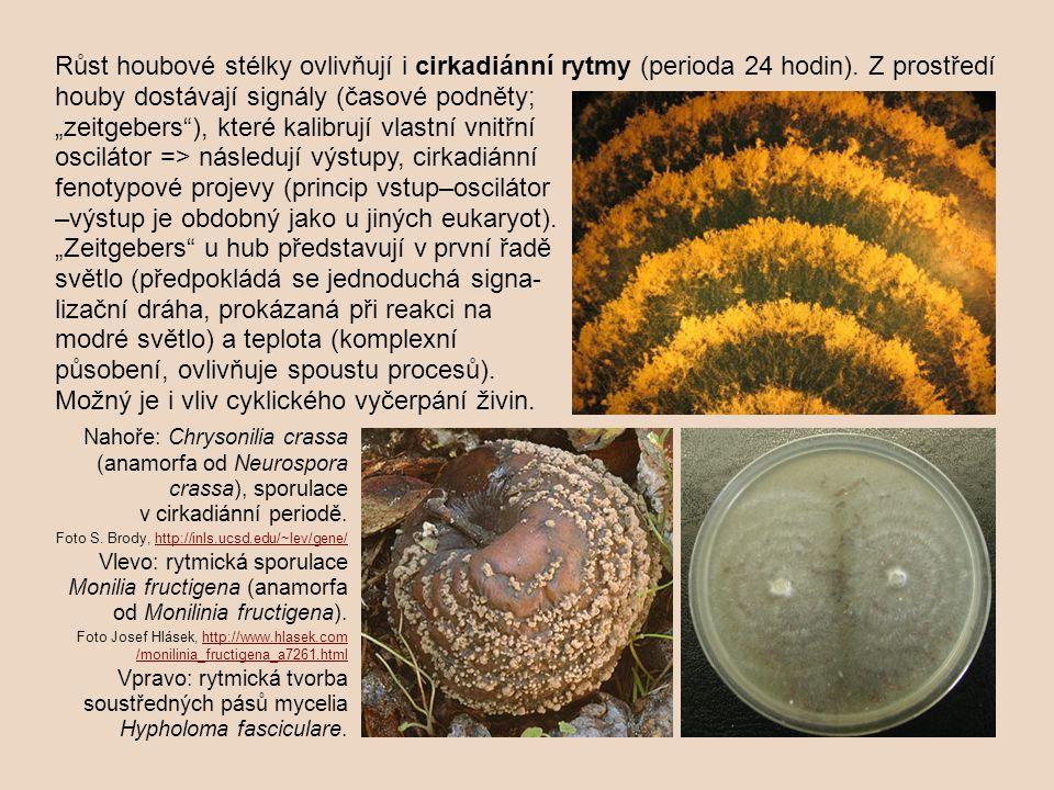 """Růst houbové stélky ovlivňují i cirkadiánní rytmy (perioda 24 hodin). Z prostředí houby dostávají signály (časové podněty; """"zeitgebers""""), které kalibr"""