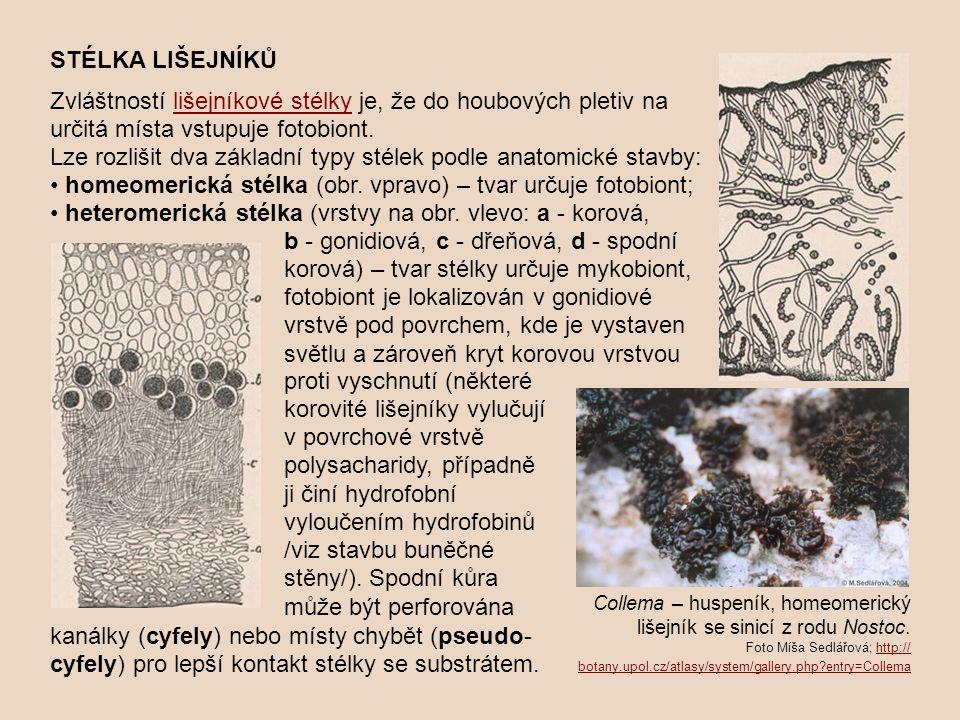 STÉLKA LIŠEJNÍKŮ Zvláštností lišejníkové stélky je, že do houbových pletiv na určitá místa vstupuje fotobiont.lišejníkové stélky Lze rozlišit dva zákl