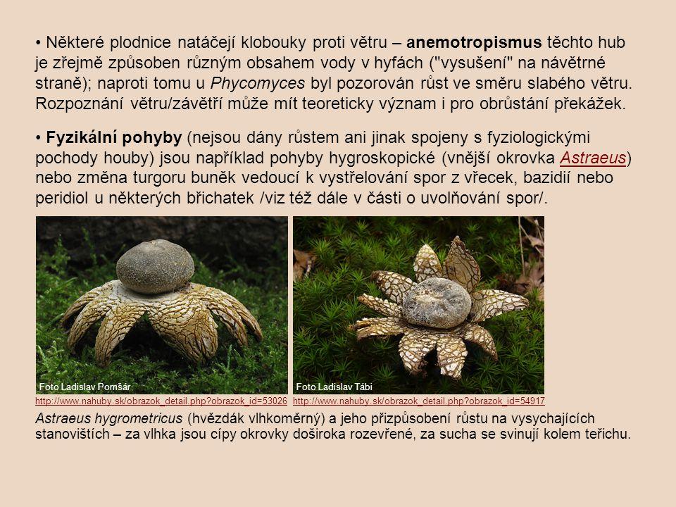 Některé plodnice natáčejí klobouky proti větru – anemotropismus těchto hub je zřejmě způsoben různým obsahem vody v hyfách (