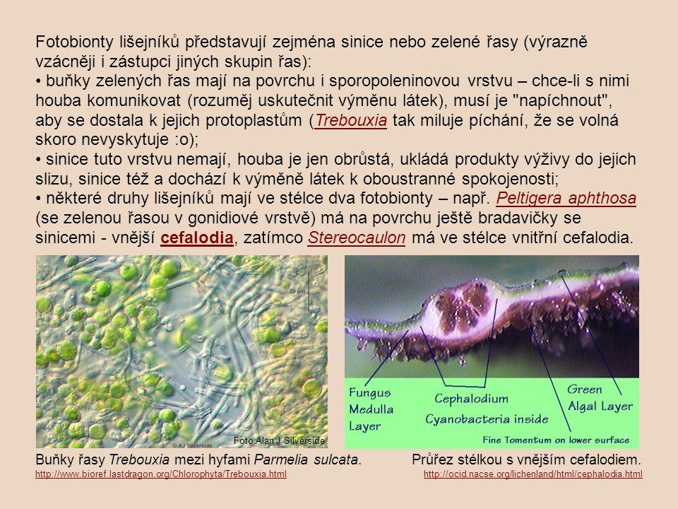 Fotobionty lišejníků představují zejména sinice nebo zelené řasy (výrazně vzácněji i zástupci jiných skupin řas): buňky zelených řas mají na povrchu i
