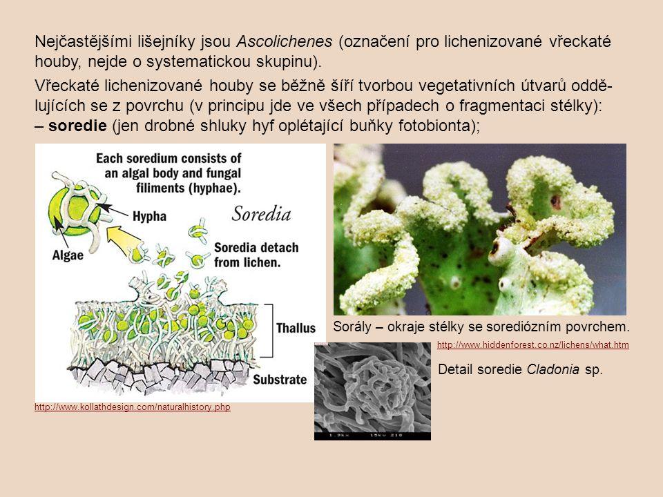 Nejčastějšími lišejníky jsou Ascolichenes (označení pro lichenizované vřeckaté houby, nejde o systematickou skupinu). Vřeckaté lichenizované houby se