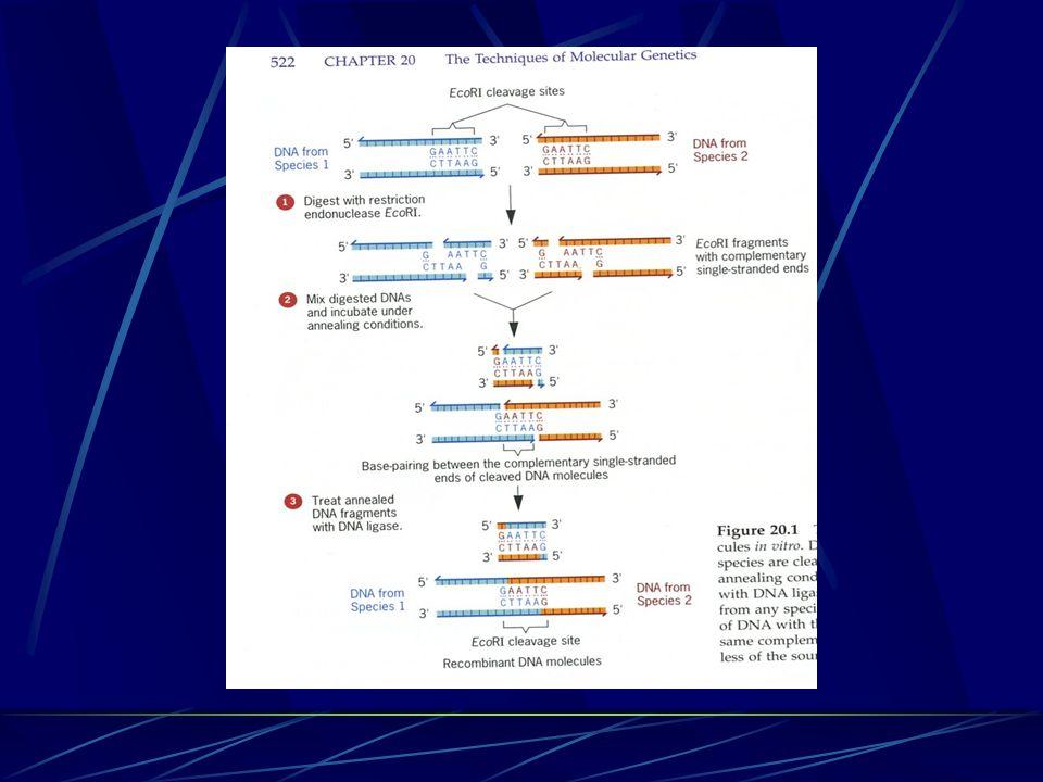 Vektory Deriváty virových chromosomů a plasmidů Vystřihnutá nukleotidová sekvence se vkládá do vektoru za účelem její replikace Plazmidový vektor-dvouřetězcová molekula DNA od 1kb do 200kb Obsahují pouze jedno restrikční místo pro danou endonukleázu
