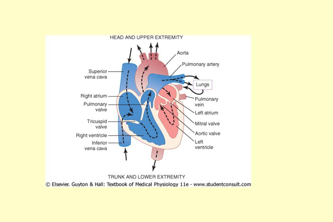 HMOTNOST SRDCE srdeční hypertrofie – zesílení stěny levé komory Přírůstek hmotnosti v g/rok ♂ 1 ♀ 1,5