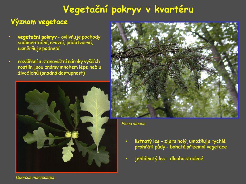 Význam vegetace Vegetační pokryv v kvartéru Quercus macrocarpa. Picea rubens. vegetační pokryv - ovlivňuje pochody sedimentační, erozní, půdotvorné, u