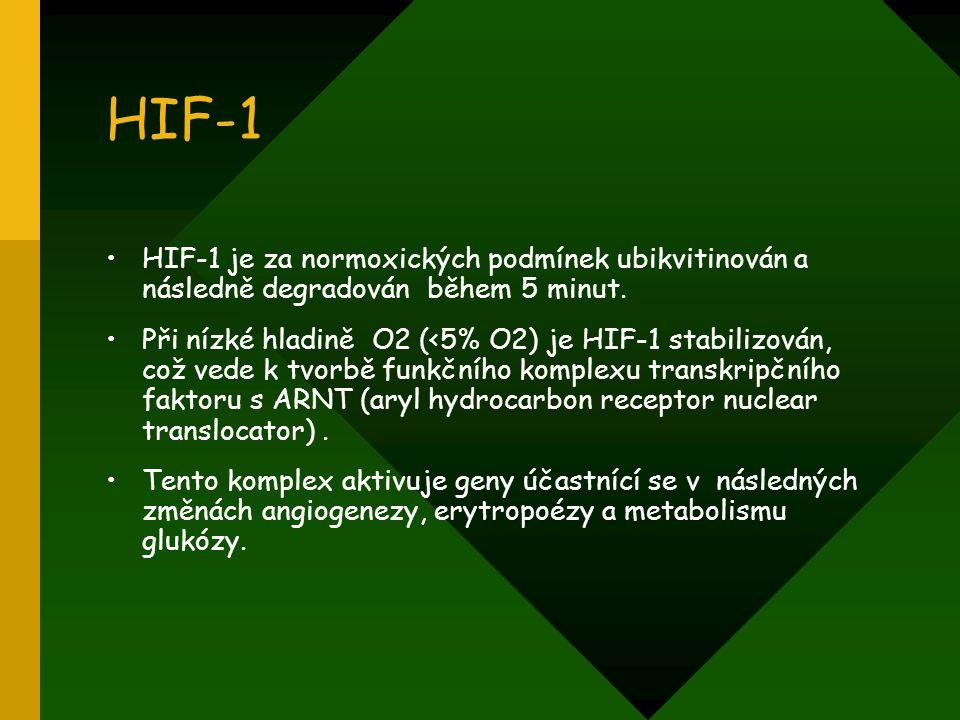 HIF-1 HIF-1 je za normoxických podmínek ubikvitinován a následně degradován během 5 minut. Při nízké hladině O2 (<5% O2) je HIF-1 stabilizován, což ve