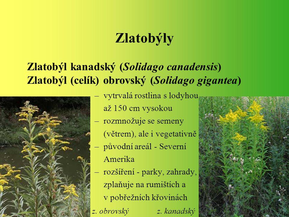 Zlatobýly –vytrvalá rostlina s lodyhou až 150 cm vysokou –rozmnožuje se semeny (větrem), ale i vegetativně –původní areál - Severní Amerika –rozšíření