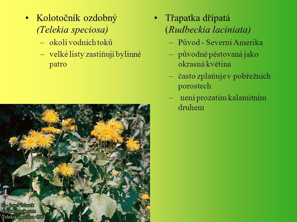 Kolotočník ozdobný (Telekia speciosa) –okolí vodních toků –velké listy zastiňují bylinné patro Třapatka dřípatá (Rudbeckia laciniata) –Původ - Severní