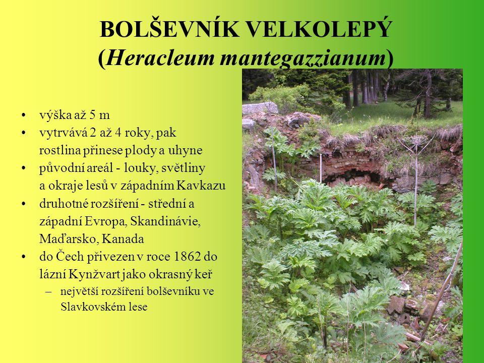 BOLŠEVNÍK VELKOLEPÝ (Heracleum mantegazzianum) výška až 5 m vytrvává 2 až 4 roky, pak rostlina přinese plody a uhyne původní areál - louky, světliny a