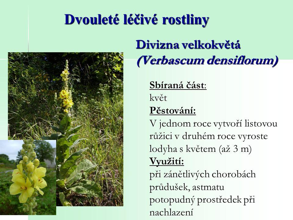 Divizna velkokvětá (Verbascum densiflorum) Dvouleté léčivé rostliny Sbíraná část: květPěstování: V jednom roce vytvoří listovou růžici v druhém roce v