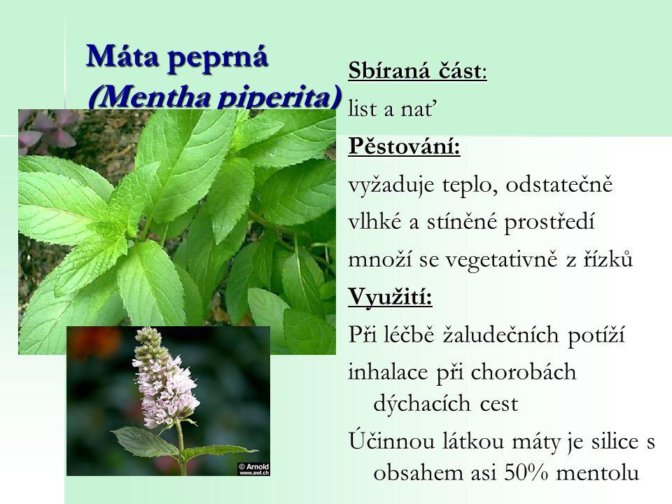Máta peprná (Mentha piperita) Sbíraná část: list a nať Pěstování: vyžaduje teplo, odstatečně vlhké a stíněné prostředí množí se vegetativně z řízků Vy