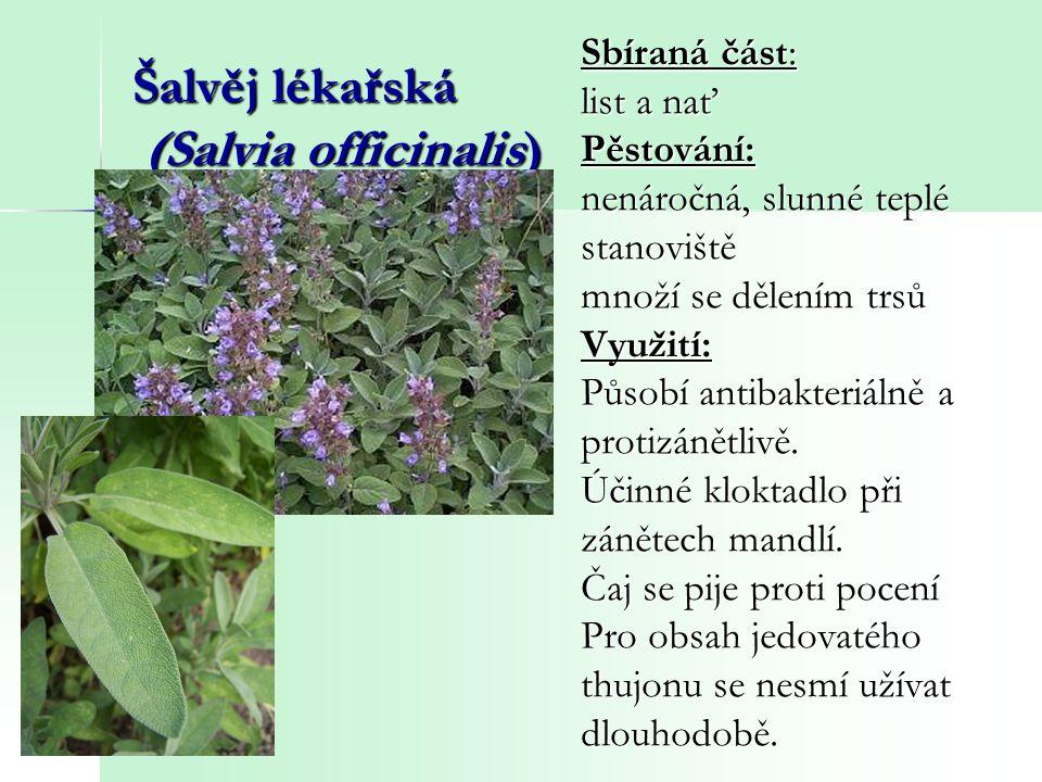 Šalvěj lékařská (Salvia officinalis) Sbíraná část: list a nať Pěstování: nenáročná, slunné teplé stanoviště množí se dělením trsů Využití: Působí anti