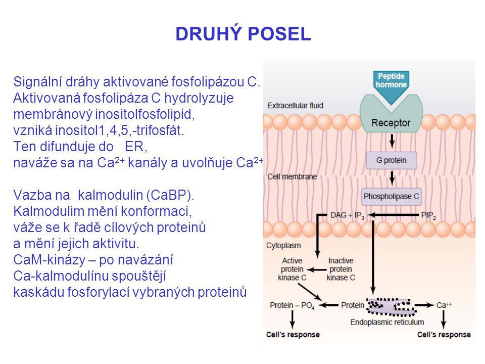DRUHÝ POSEL Signální dráhy aktivované fosfolipázou C. Aktivovaná fosfolipáza C hydrolyzuje membránový inositolfosfolipid, vzniká inositol1,4,5,-trifos
