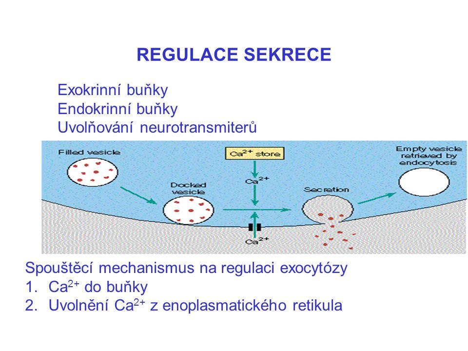 REGULACE SEKRECE Spouštěcí mechanismus na regulaci exocytózy 1.Ca 2+ do buňky 2.Uvolnění Ca 2+ z enoplasmatického retikula Exokrinní buňky Endokrinní
