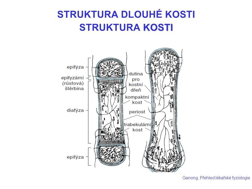 KOSTI STRUKTURA KOSTI Ganong, Přehled lékařské fyziologie STRUKTURA DLOUHÉ KOSTI