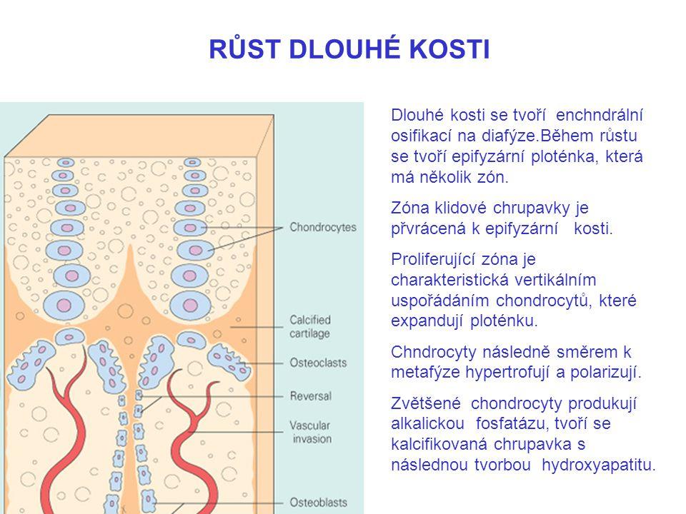 RŮST DLOUHÉ KOSTI Dlouhé kosti se tvoří enchndrální osifikací na diafýze.Během růstu se tvoří epifyzární ploténka, která má několik zón. Zóna klidové
