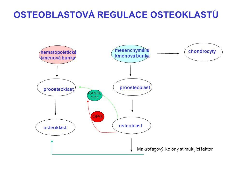 OSTEOBLASTOVÁ REGULACE OSTEOKLASTŮ hematopoietická kmenová bunka mesenchymální kmenová bunka chondrocyty proosteoklast proosteoblast osteoklast osteob