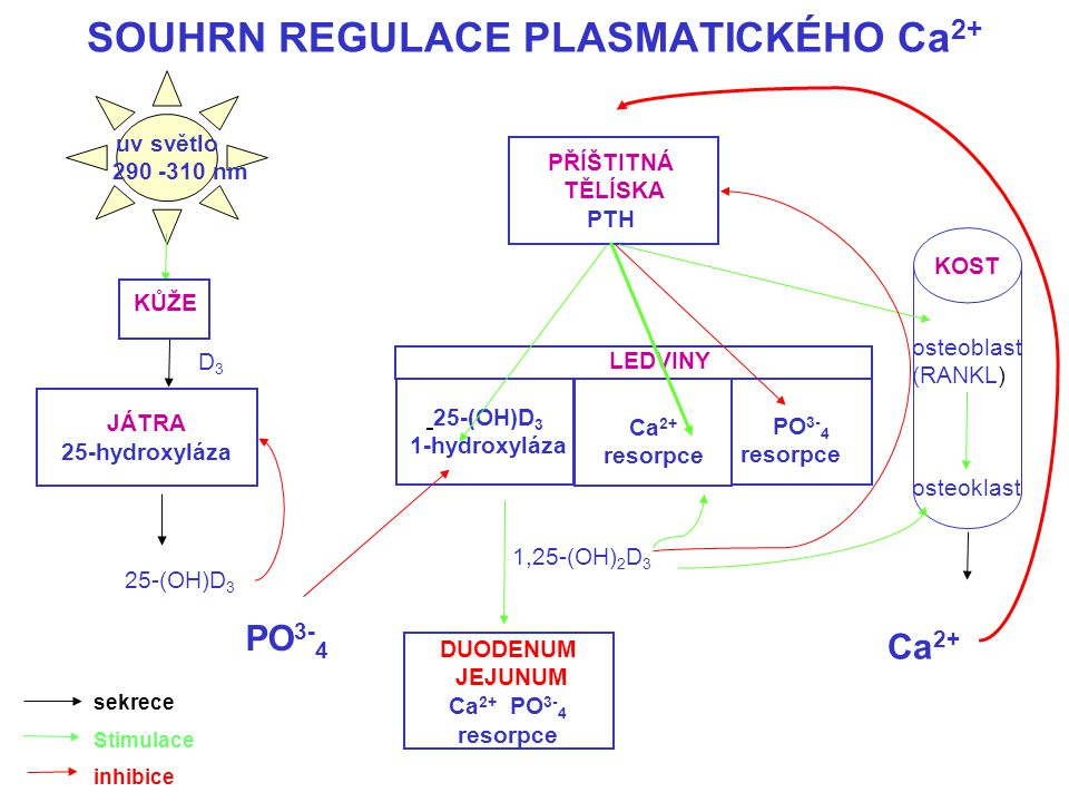 SOUHRN REGULACE PLASMATICKÉHO Ca 2+ uv světlo 290 -310 nm PŘÍŠTITNÁ TĚLÍSKA PTH JÁTRA 25-hydroxyláza 25-(OH)D 3 1-hydroxyláza DUODENUM JEJUNUM Ca 2+ P