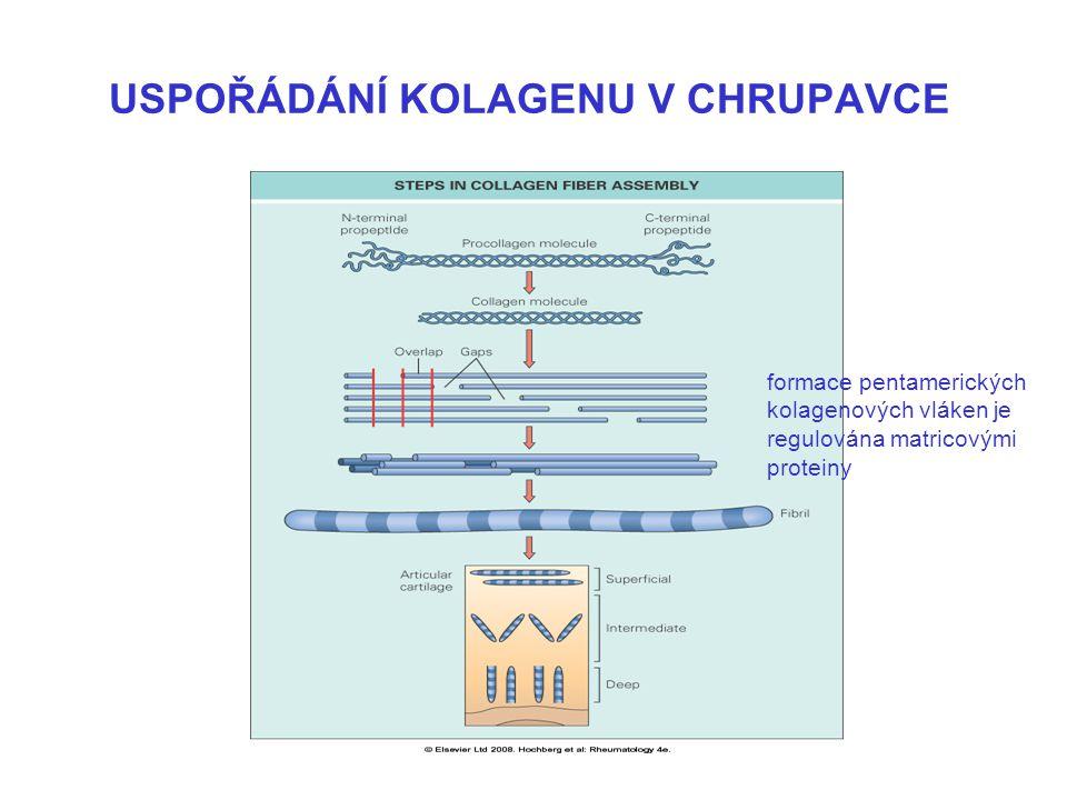 USPOŘÁDÁNÍ KOLAGENU V CHRUPAVCE formace pentamerických kolagenových vláken je regulována matricovými proteiny