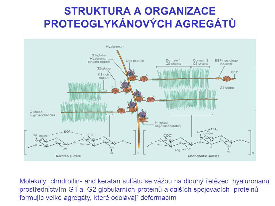 STRUKTURA A ORGANIZACE PROTEOGLYKÁNOVÝCH AGREGÁTŮ Molekuly chndroitin- and keratan sulfátu se vážou na dlouhý řetězec hyaluronanu prostřednictvím G1 a