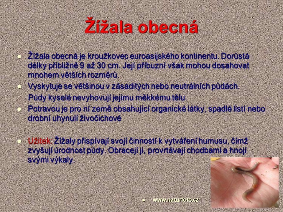 Žížala obecná je kroužkovec euroasijského kontinentu. Dorůstá délky přibližně 9 až 30 cm. Její příbuzní však mohou dosahovat mnohem větších rozměrů. Ž